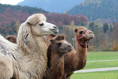 Camel / A camel is an ...